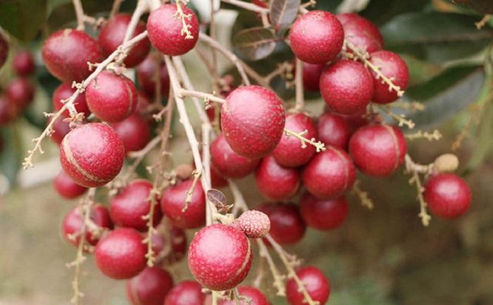 Đặc sản Sóc Trăng - nhãn tím nhìn là mê, ăn là thích