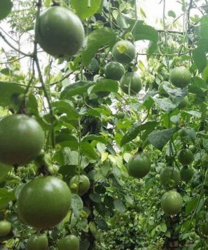 Chanh Dây ĐakLak (nhà trồng tự nhiên)