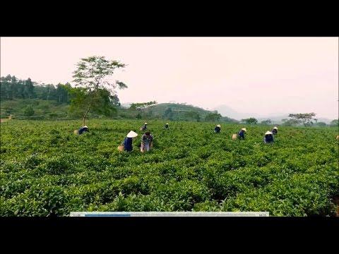 Nông nghiệp sạch số 4 – Chè Shan Tuyết Hà Giang